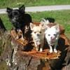 Meine Chihuahuawelt